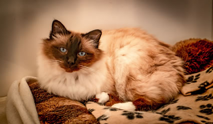 Bertie the Birman loves to stay at Lytchett Royal for his holidays